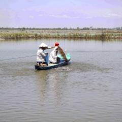 Long An: Nhiều nông dân lao đao vì cá tra giống