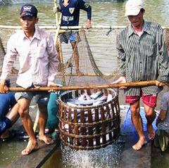 Hậu Giang: Giá cá tra nguyên liệu tăng