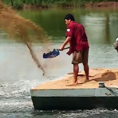 Vĩnh Long: Giá cá giảm người nuôi vẫn có lời
