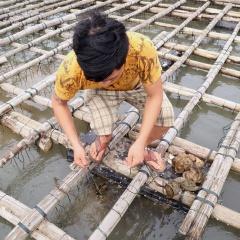 Nghề nuôi hàu treo dây ở cửa sông