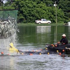 Thách thức tình trạng thừa cung đối với người nuôi cá da trơn Mỹ