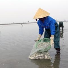 Quỳnh Lưu: Thu hoạch gần 2.000 tấn ngao đầu mùa