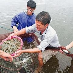Thái Bình: Để người nuôi tôm có những mùa vàng