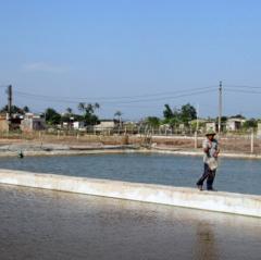 Tiền Hải: Nhiều diện tích nuôi tôm nhiễm bệnh đốm trắng