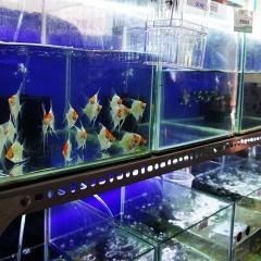 TP HCM: Chương trình phát triển cá cảnh, xây dựng chuỗi liên kết giá trị