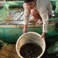 Hiệu quả từ việc nuôi cá chép lai Lào Cai