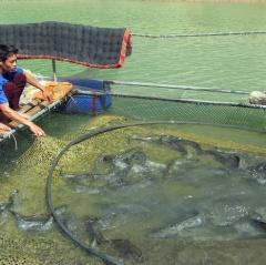 Sơn La: Lấy tỏi trị bệnh cho cá đặc sản, cá lớn nhanh, bán giá tốt