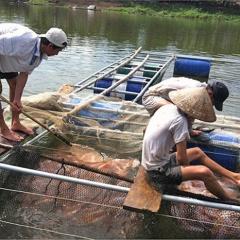 Cứu cá lồng sông Bồ