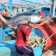 Ngư dân Phú Yên được mùa cá ngừ