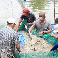 Giá cá tra nguyên liệu và cá giống giảm