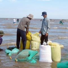 Hợp tác xã nuôi nghêu Bến Tre đạt doanh thu hơn 5,9 tỷ đồng
