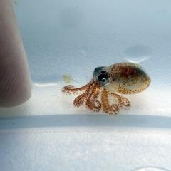 Nuôi bạch tuộc có thể đe dọa tới hệ sinh thái