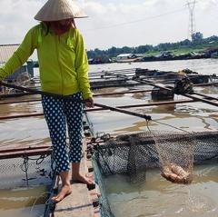 Cẩn trọng khi nuôi cá lồng trên sông lúc giao mùa