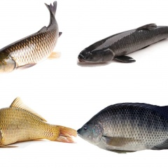 Đặc điểm sinh học và kỹ thuật nuôi một số loài cá nước ngọt