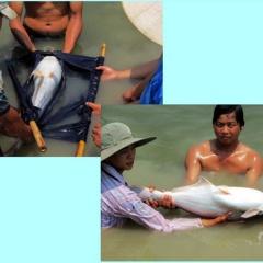 Giải pháp cải thiện tỉ lệ sống và hiệu quả của nuôi cá tra