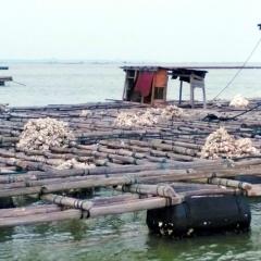 Quảng Ninh: Khẩn trương hỗ trợ người nuôi hà khôi phục sản xuất