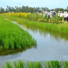 Phát triển sản xuất lúa sạch - tôm sạch từ mô hình tôm lúa