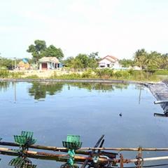 Nguy cơ ô nhiễm ở các vùng nuôi tôm Quảng Nam