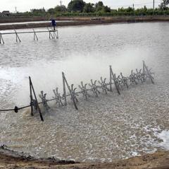 Thời tiết nhiều biến động gây bất lợi cho tôm nuôi