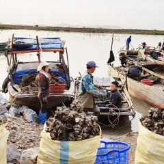 Quảng Yên: Mong muốn có quy hoạch vùng nuôi nhuyễn thể tập trung