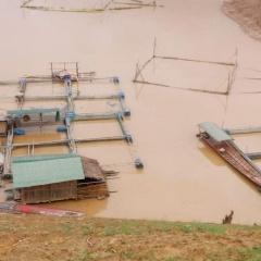 Cá nuôi trên lòng hồ thủy điện Sơn La chết hàng loạt