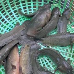 Hậu Giang: Giá cá đồng, cá nuôi ở mức cao