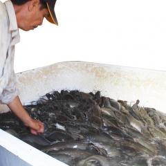 Xuất khẩu cá vào thị trường Campuchia tăng mạnh