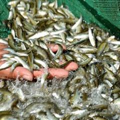 Cần cấm đánh bắt thủy sản trong mùa sinh sản