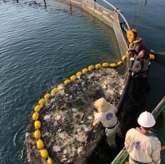 Công nghệ nuôi biển: Nuôi đặc sản cá chim vây vàng bằng lồng Na Uy