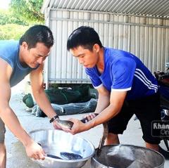 Nghề nuôi cá chình ở Khánh Hòa