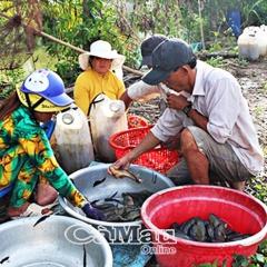 Người nuôi cá rô đầu nhím băn khoăn tìm đầu ra