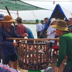 Nguồn cung dồi dào, nhu cầu thấp kéo giá cá tra sụt giảm