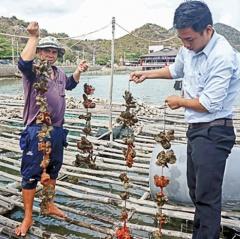 Nghề nuôi hàu Thái Bình Dương tại xã Tri Hải