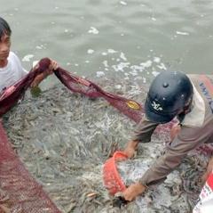 Hà Tĩnh: 20 ha nuôi tôm trên cát thu được 250 tấn tôm