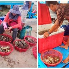Tôm hùm trên vịnh Vân Phong liên tục chết