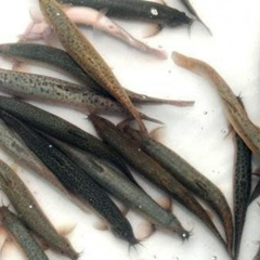 Hậu Giang: Thử nghiệm sản xuất giống và nuôi cá chạch sông