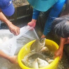 Đồng Nai: Hỗ trợ vốn nuôi cá chép giòn tại phường Tân Hạnh