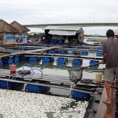 Cá chết trên sông Chà Và là do nhiễm trùng quả dưa
