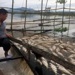 Gần 40 tấn cá lồng nuôi chết trên sông Đại Giang