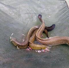 Nông dân Cà Mau lãi hơn 300 triệu nhờ nuôi cá chình, cá bống tượng