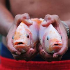 Tối ưu hóa hệ số chuyển đổi thức ăn trong nuôi cá rô phi – điêu hồng