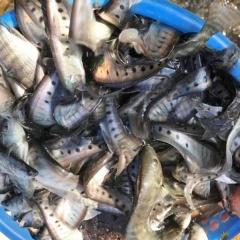 Đăk Lăk: Nuôi cá lồng bè trên sông, hồ gắn với tiêu thụ sản phẩm