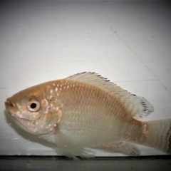 Chọn lọc giống cá rô phi tăng trưởng tốt hơn trong môi trường thâm canh