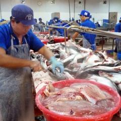 Giá cá tra đồng bằng sông Cửu Long đang nhích lên