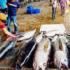 Chủ động khai thác, thu mua, chế biến và tiêu thụ cá ngừ theo chuỗi