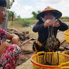 Bạc Liêu phát triển tôm sạch, lúa an toàn