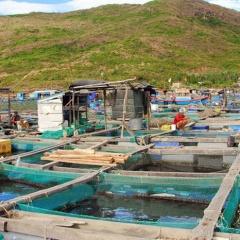 Nghề nuôi biển Quy Nhơn: Cần quy hoạch để phát triển bền vững