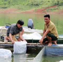 Lào Cai: Triển khai mô hình nuôi cá tầm trong lồng bè