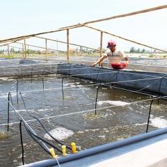 Một số lưu ý nuôi tôm trong mùa nắng nóng