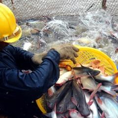 Thua lỗ nặng do giá cá tra giống xuống thấp